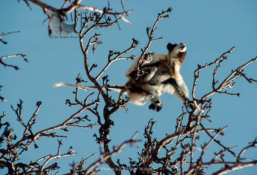 Verreaux's Sifakas (Propithecus Verreauxi), Female And Baby Feeding On Tree, Berenty, Southern Madagascar