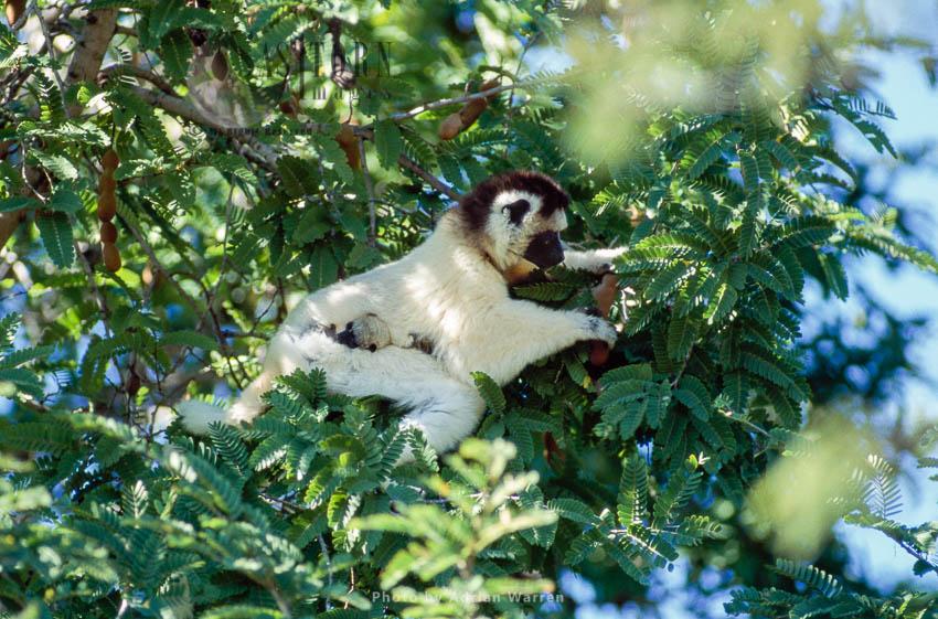 Verreaux's Sifaka (Propithecus Verreauxi), Feeding On Tamarind, Berenty, Southern Madagascar