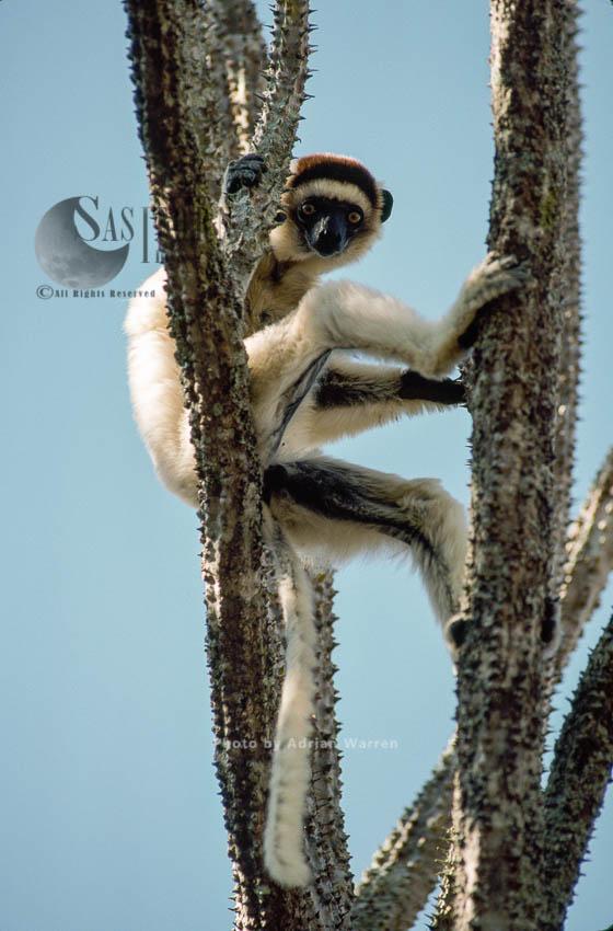 Verreaux's Sifaka (Propithecus Verreauxi) On Didieraceae Tree, Berenty, Southern Madagascar