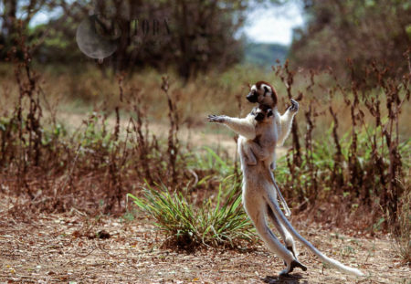 Verreaux's Sifakas (Propithecus Verreauxi), Mother And Baby Hopping On Ground, Berenty, Southern Madagascar
