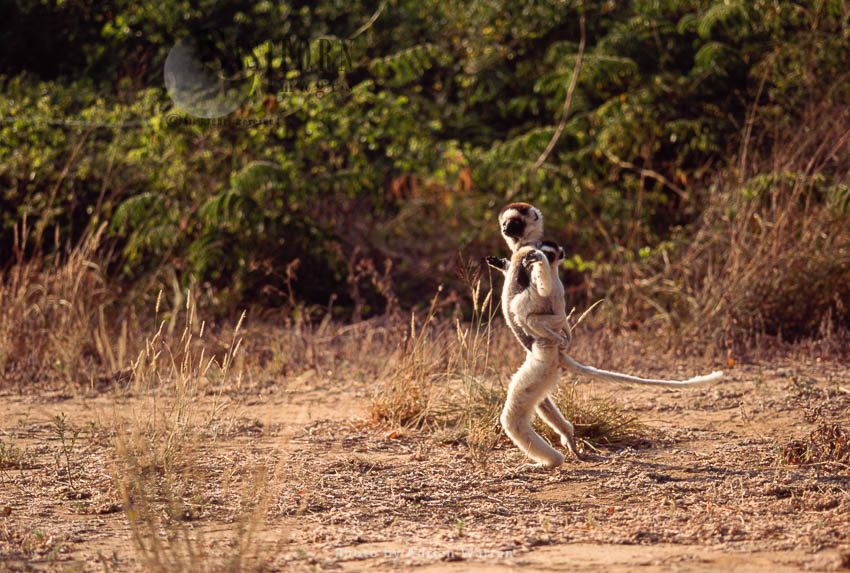 Erreaux's Sifaka (Propithecus Verreauxi), Berenty, Southern Madagascar