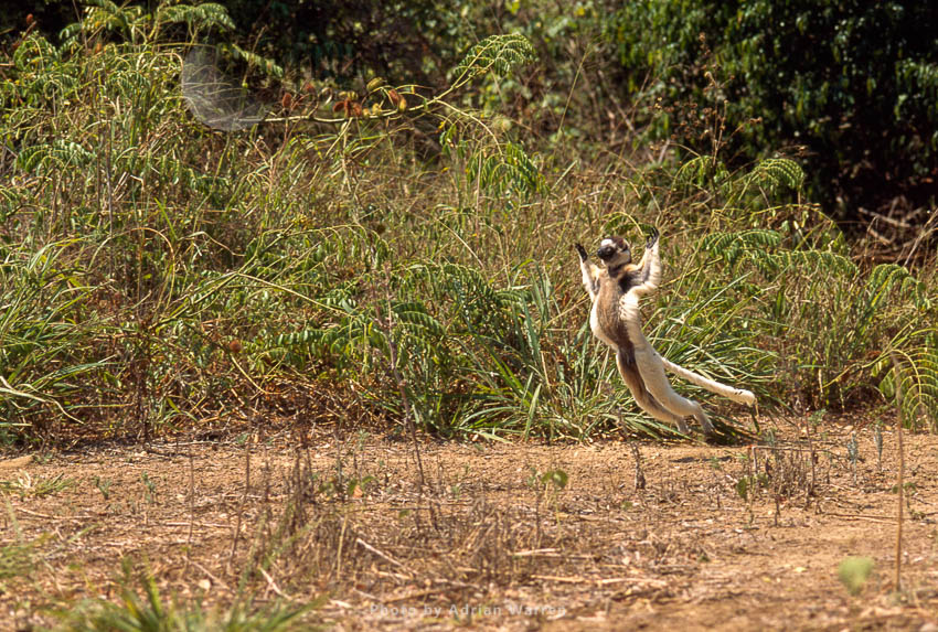 Verreaux's Sifaka (Propithecus Verreauxi), Hopping On Ground, Berenty, Southern Madagascar