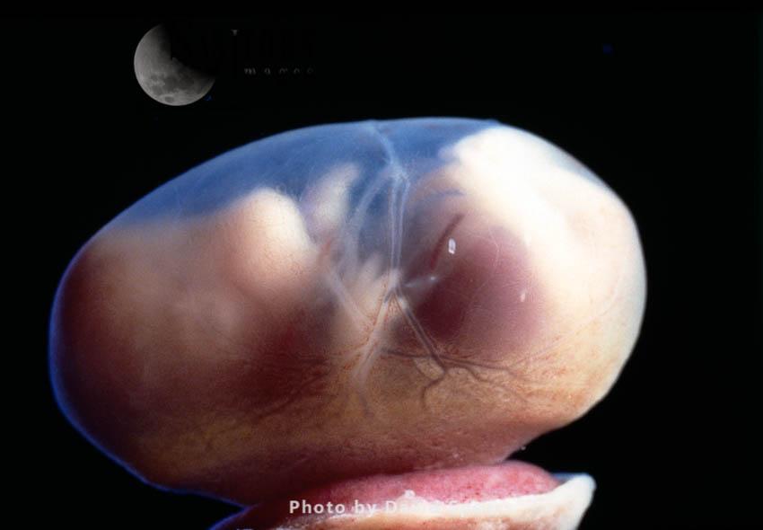 Rat Embryo