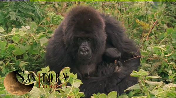 Gorilla0242: 33 08:01:38:05
