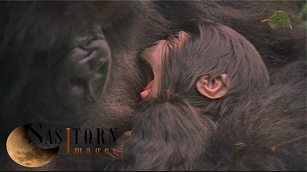 Gorilla0243: 34 08:00:12:08