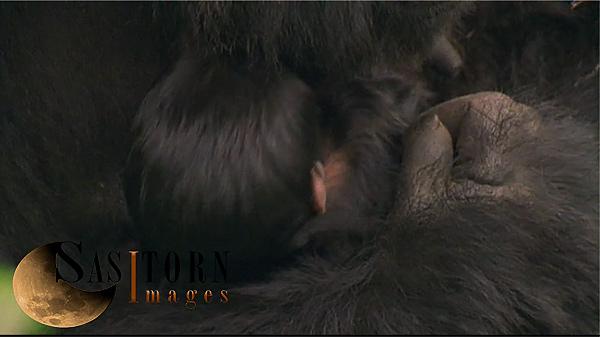 Gorilla0244: 34 08:01:54:13