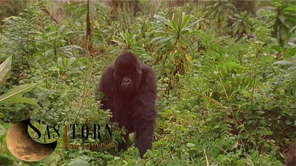 Gorilla0259: 4 04:43:08:18