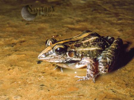 Frog (Leptodactylus Fuscus), Llanos, Venezuela