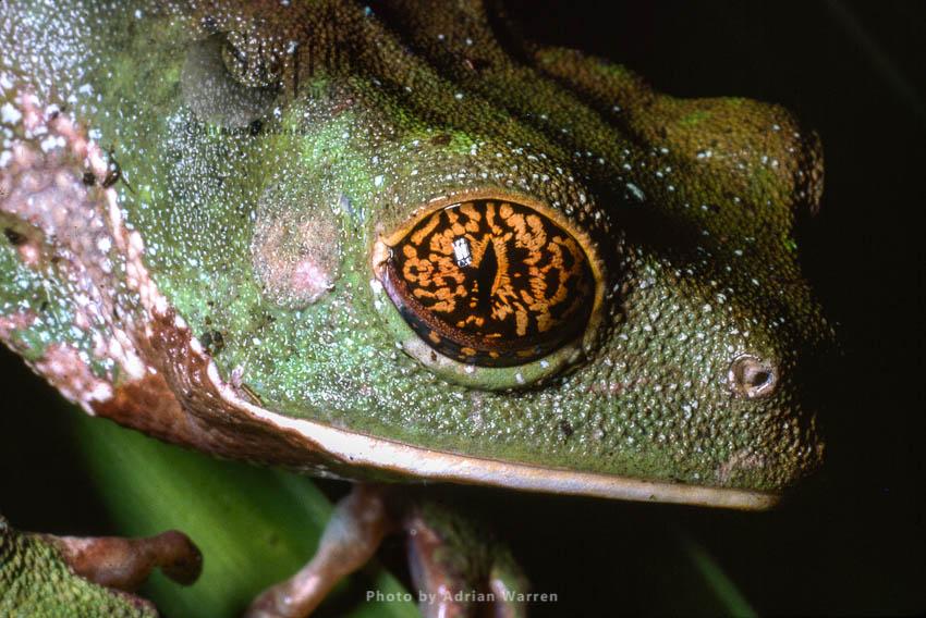 Frog (Phlyomedusa), Rancho Grande, Venezuela