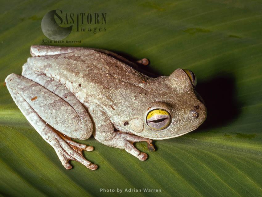 Tree Frog, Santa Elena De Varen, Venezuela
