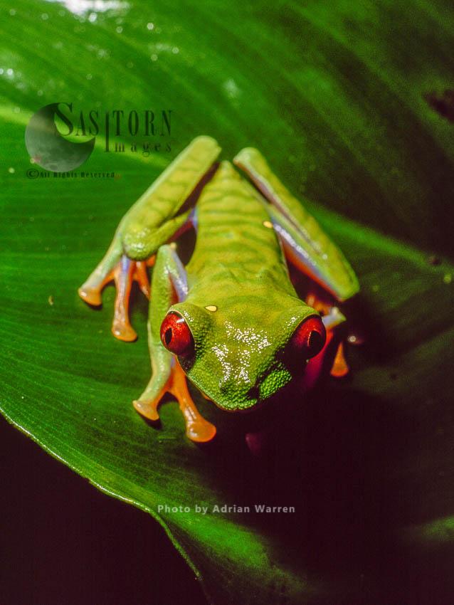 Tree Frog (Agalychnis Sp.), Costa Rica