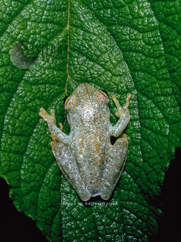Frog (Hyla Sp.), Camarata, Venezuela, 1974