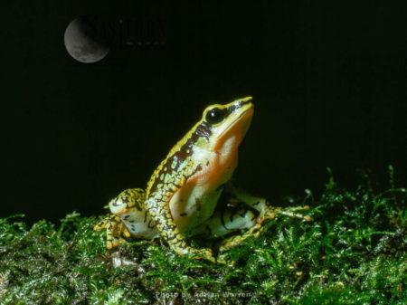 Atelopus Poison Frog (Atelopus Cruciger), Rancho Grande, Venezuela