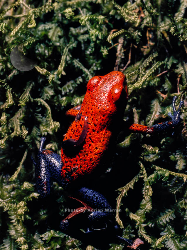 Strawberry Poison-Dart Frog (Dendrobates Pumilio), Costa Rica, South America