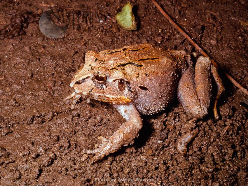 Frog (Eleutherodactylus), Rancho Grande, Venezuela