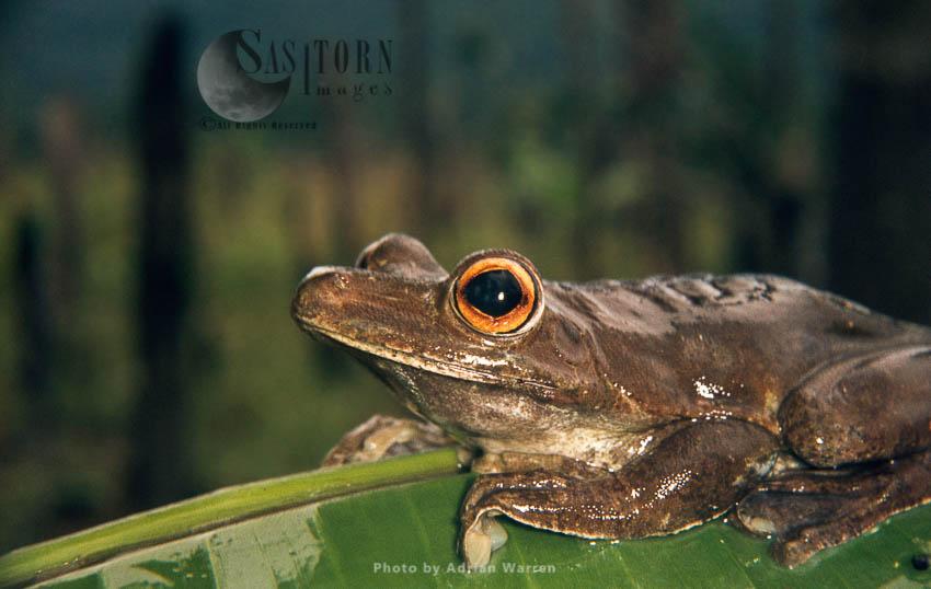 Giant Tree Frog (Hyla Boans), Guyana