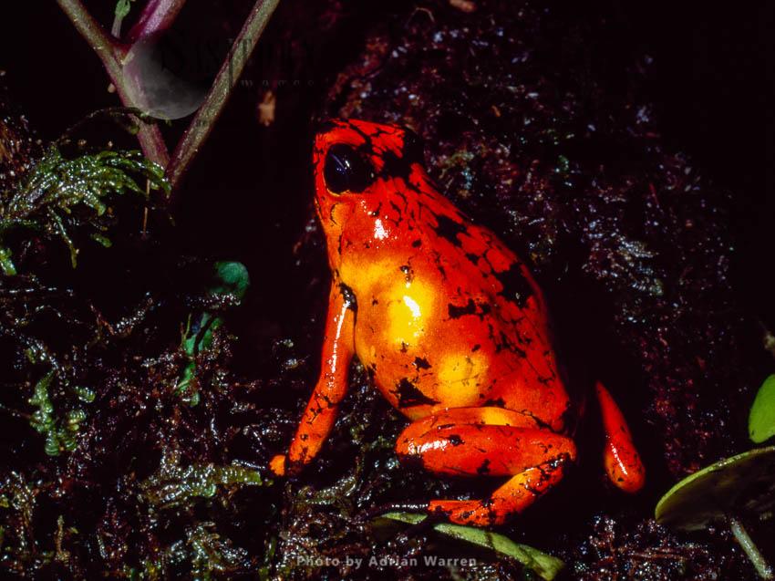 Poison-Dart Frog (Dendrobates Tinctorius), Southern Colombia, 1994