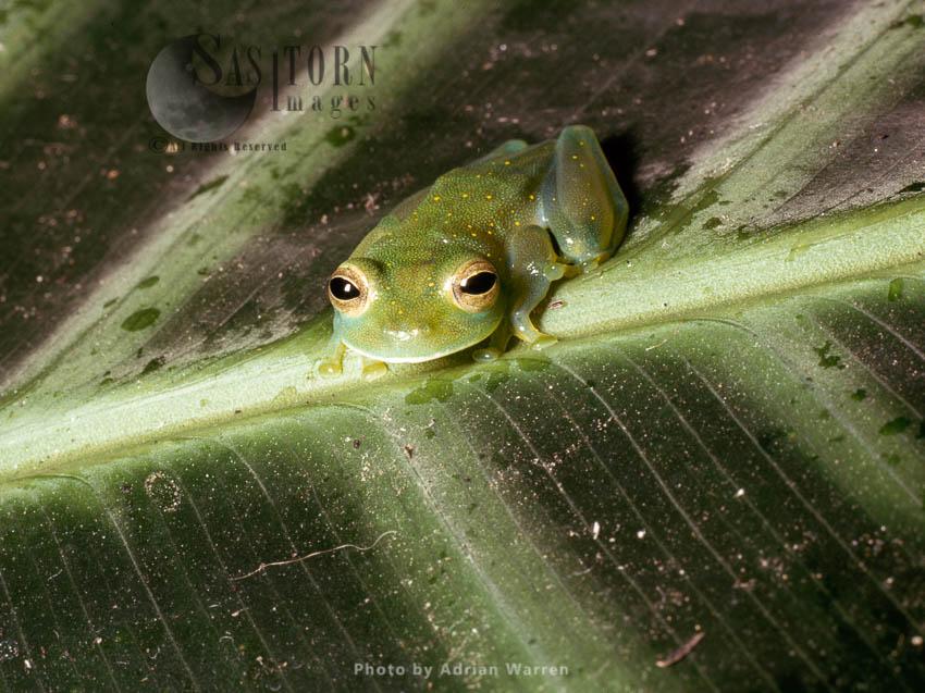 Centrolenid Treefrog,  Cloud Forest, Rancho Grande, Venezuela