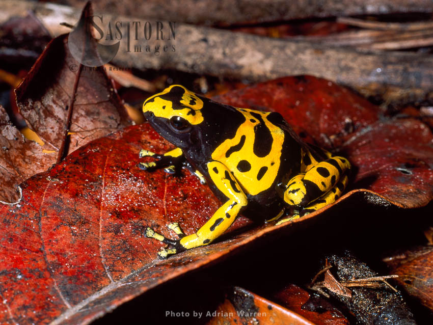 Dendrobatid Poison Dart Frog (Dendrobates Leucomelas), Venezuela, South America