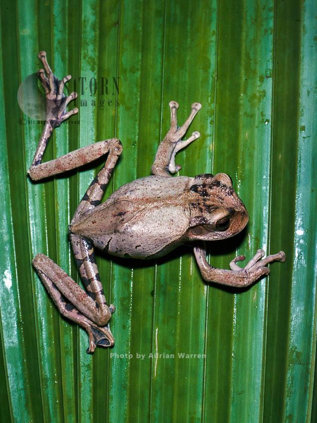 Marsupial Frog (Gastrotheca), Rancho Grande, Venezuela