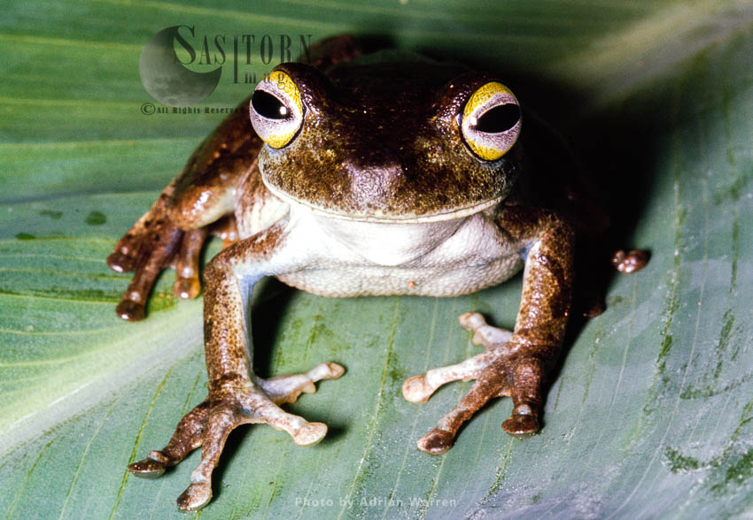 Tree Frog (Phrynohyas), Camarata, Venezuela