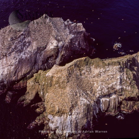Gannet Colony At Rumblings And Vesta Skerry, North Of Unst, Shetland Islands, Scotland
