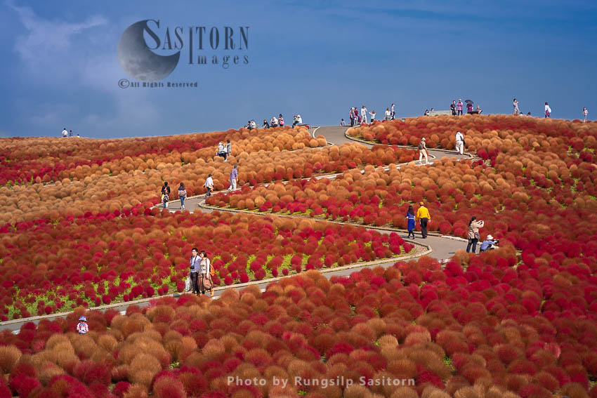Beautiful Kochias Hill In Autumn Season At Hitachi Seaside Park , Ibaraki Prefecture , Japan.