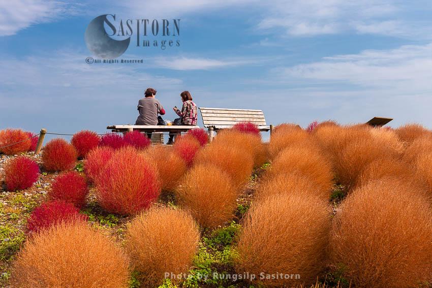 Beautiful Kochias Hill In Autumn Season At Hitachi Seaside Park , Ibaraki Prefecture , Japan.