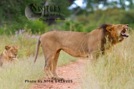 Flehmen Grimace (Panthera Leo), Ruaha National Park, Tanzania