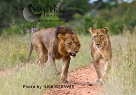 Mating Pair Of Lion (Panthera Leo), Ruaha National Park, Tanzania