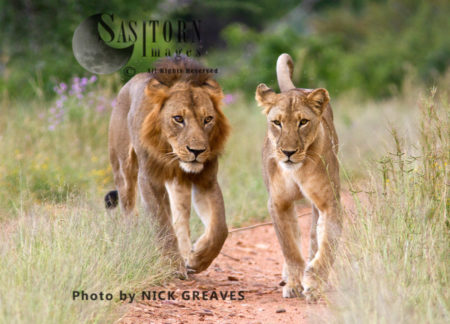 River Pride Mating Pair (Panthera Leo), Ruaha National Park, Tanzania