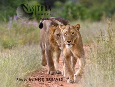 Lion Pair (Panthera Leo), Ruaha National Park, Tanzania
