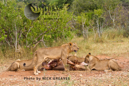 Lion Pride On Kill (Panthera Leo), Ruaha National Park, Tanzania