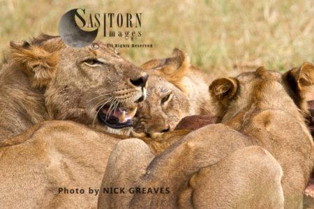 Lions On Kill (Panthera Leo), Ruaha National Park, Tanzania