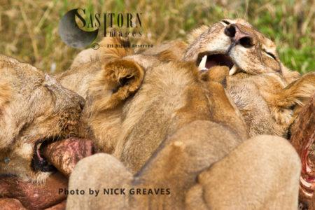 Lion Feeding Frenzy (Panthera Leo), Ruaha National Park, Tanzania