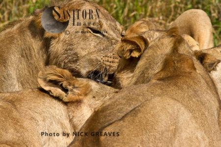 Lion Throng (Panthera Leo), Ruaha National Park, Tanzania