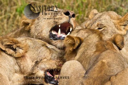 Lion Competition (Panthera Leo), Ruaha National Park, Tanzania
