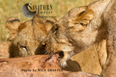 Lioness Pulls On Hippo Carcass (Panthera Leo), Ruaha National Park, Tanzania