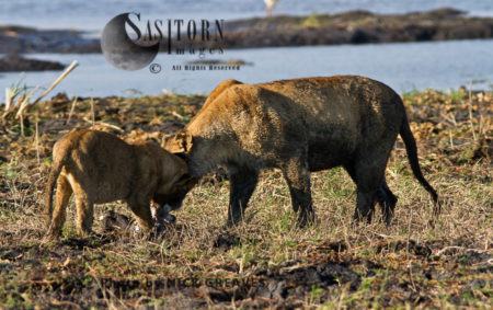 Cubs Gnawing On Bone (Panthera Leo)