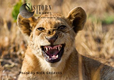 Snarling Lion Cub (Panthera Leo), Katavi National Park, Tanzania