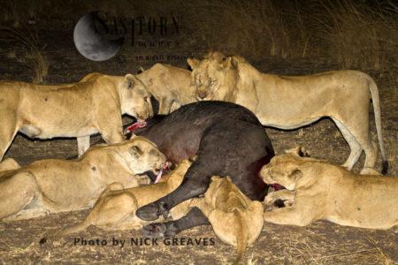 Katuma Pride On Kill (Panthera Leo), Katavi National Park, Tanzania
