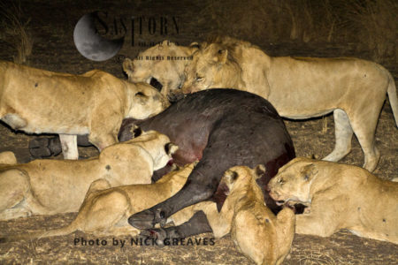 Katuma Pride On Buffalo Kill (Panthera Leo), Katavi National Park, Tanzania