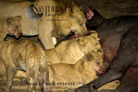 Katuma Pride On Feast (Panthera Leo), Katavi National Park, Tanzania