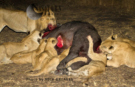 Pride Eating From Buffalo Carcass (Panthera Leo), Katavi National Park, Tanzania