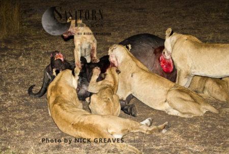 Pride On A Buffalo Kill (Panthera Leo), Katavi National Park, Tanzania