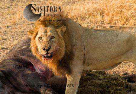 Lion Warning Snarl (Panthera Leo), Katavi National Park, Tanzania