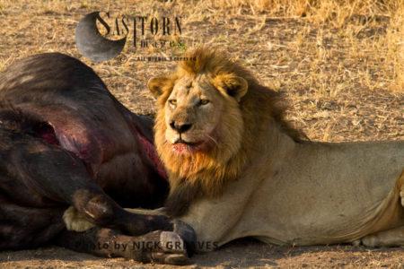 Joseph Portrait At Kill (Panthera Leo), Katavi National Park, Tanzania