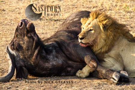 Joseph At Buffalo Kill (Panthera Leo), Katavi National Park, Tanzania