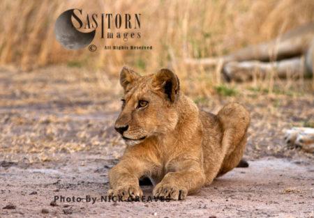 Relaxed Cub (Panthera Leo), Katavi National Park, Tanzania