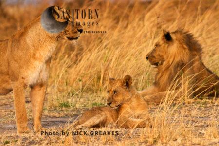 Cub With Pride Members (Panthera Leo), Katavi National Park, Tanzania